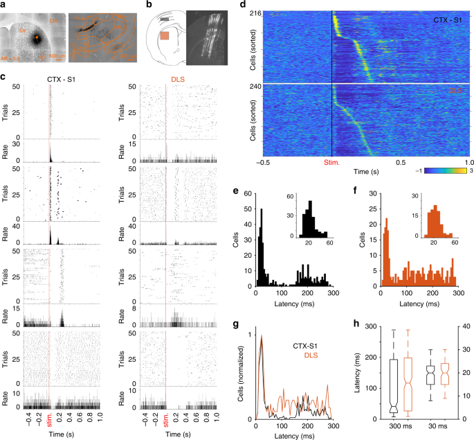 Sensory representations in the striatum provide a temporal