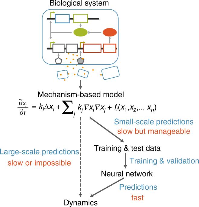 Massive computational acceleration by using neural networks to emulate mechanism-based biological models