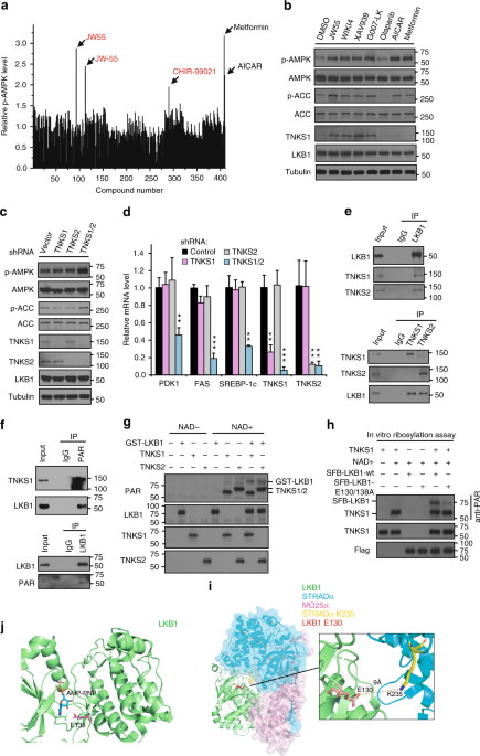 Tankyrase disrupts metabolic homeostasis and promotes tumorigenesis by inhibiting LKB1-AMPK signalling