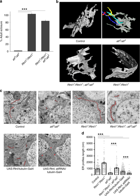 Dynamic constriction and fission of endoplasmic reticulum membranes by reticulon