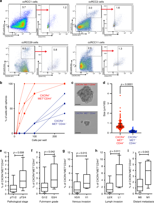 Inhibiting WNT and NOTCH in renal cancer stem cells and the implications for human patients