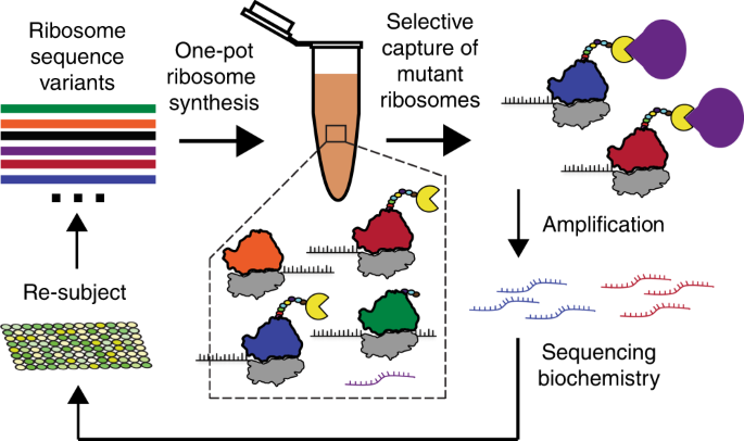 In vitro ribosome synthesis and evolution through ribosome display