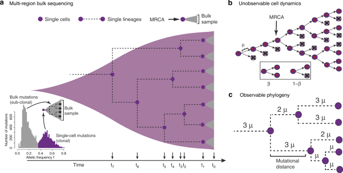 Measuring single cell divisions in human tissues from multi-region sequencing data