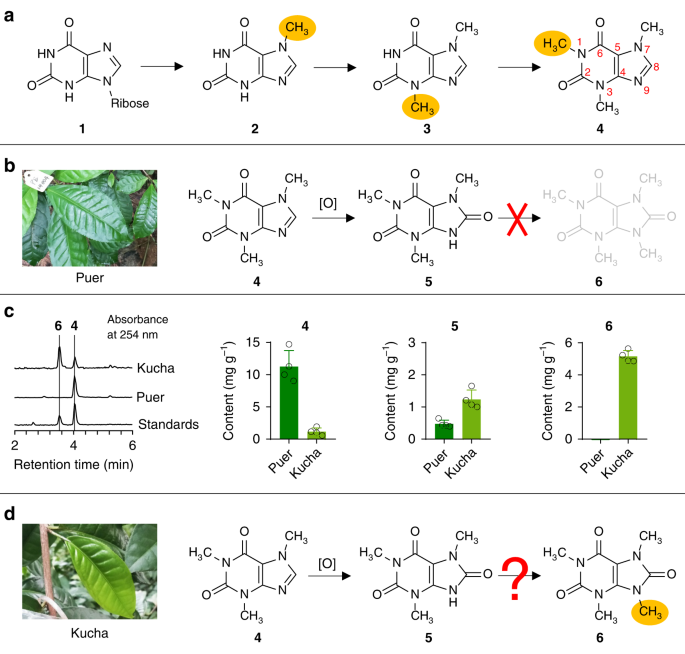 Identification and characterization of N 9-methyltransferase involved in converting caffeine into non-stimulatory theacrine in tea