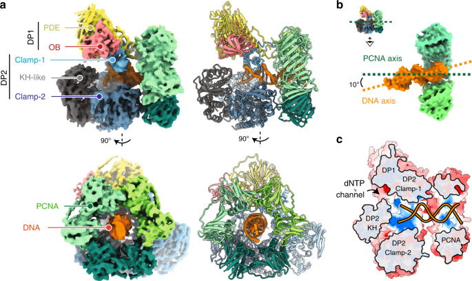 Structural basis for the increased processivity of D-family DNA polymerases in complex with PCNA