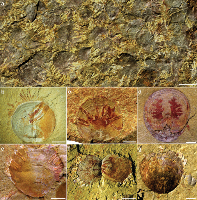 An encrusting kleptoparasite-host interaction from the early Cambrian
