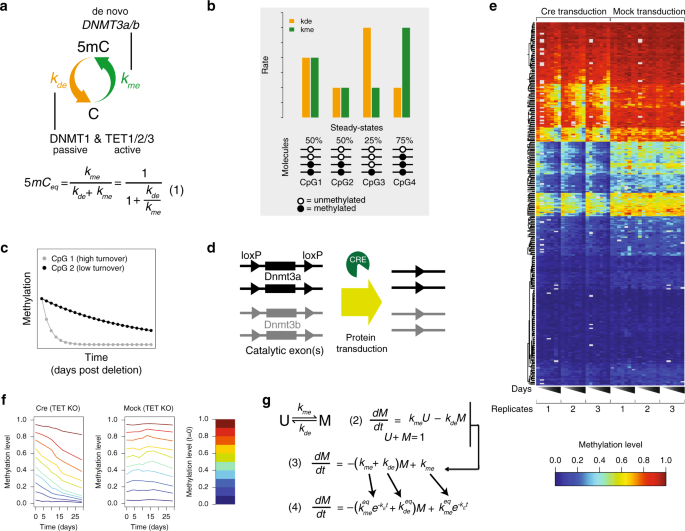 A genome-scale map of DNA methylation turnover identifies site-specific dependencies of DNMT and TET activity