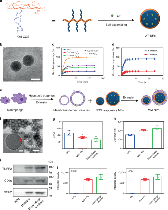 Treatment of atherosclerosis by macrophage-biomimetic nanoparticles via targeted pharmacotherapy and sequestration of proinflammatory cytokines