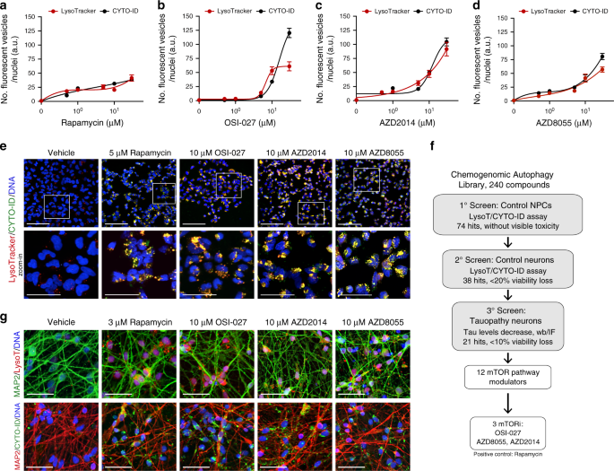 Prolonged tau clearance and stress vulnerability rescue by pharmacological activation of autophagy in tauopathy neurons