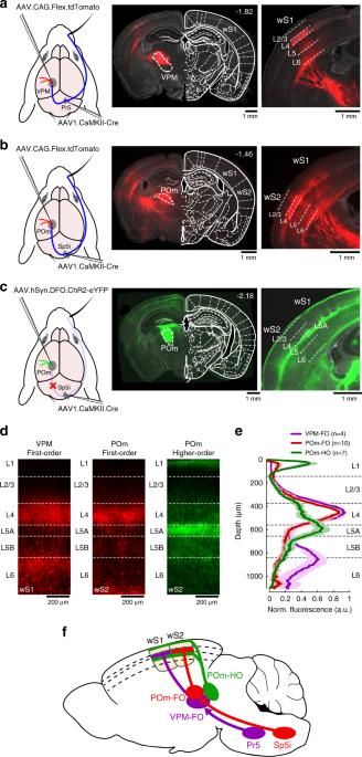 Anatomically and functionally distinct thalamocortical inputs to primary and secondary mouse whisker somatosensory cortices