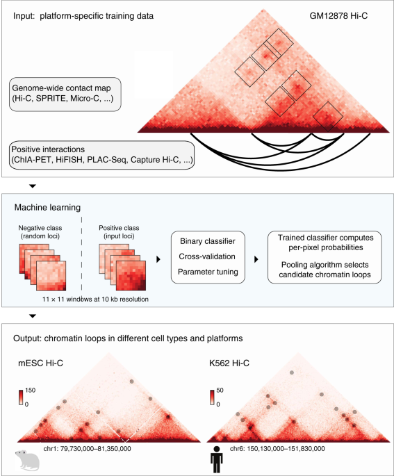 A supervised learning framework for chromatin loop detection in genome-wide contact maps