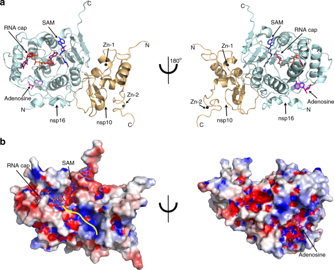 Structural basis of RNA cap modification by SARS-CoV-2