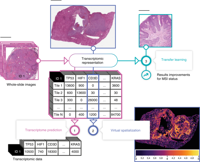 A deep learning model to predict RNA-Seq expression of tumours from whole slide images