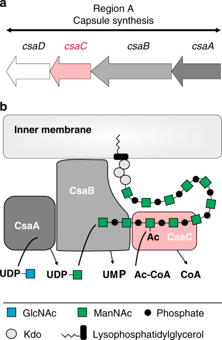 Structural and mechanistic basis of capsule O-acetylation in Neisseria meningitidis serogroup A