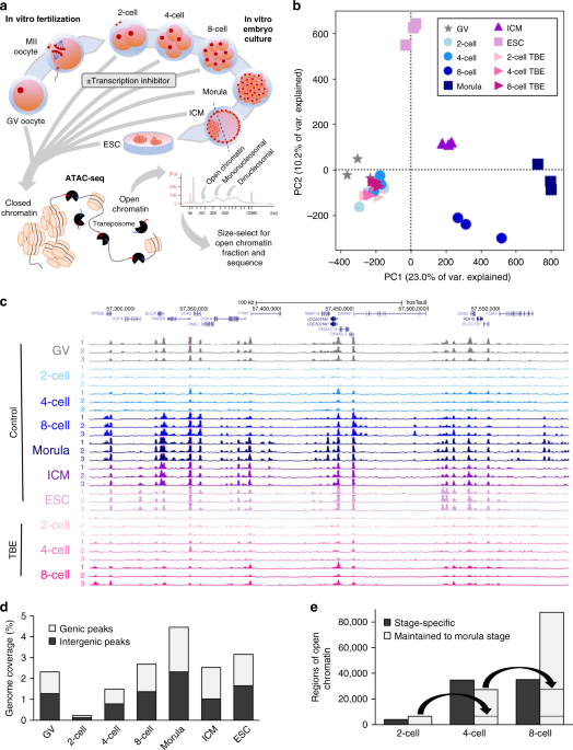 Chromatin remodeling in bovine embryos indicates species-specific regulation of genome activation