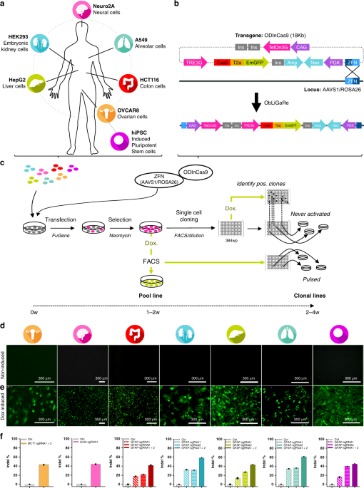 Development of an ObLiGaRe Doxycycline Inducible Cas9 system for pre-clinical cancer drug discovery