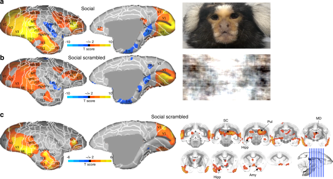 Face selective patches in marmoset frontal cortex