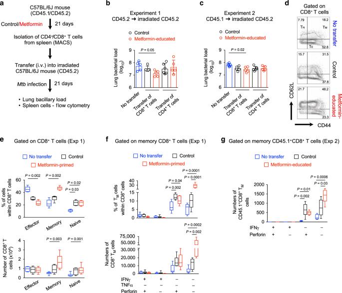 Metformin enhances anti-mycobacterial responses by educating CD8+ T-cell immunometabolic circuits