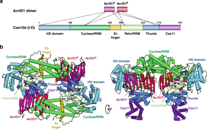 Structural basis for inhibition of an archaeal CRISPR–Cas type I-D large subunit by an anti-CRISPR protein