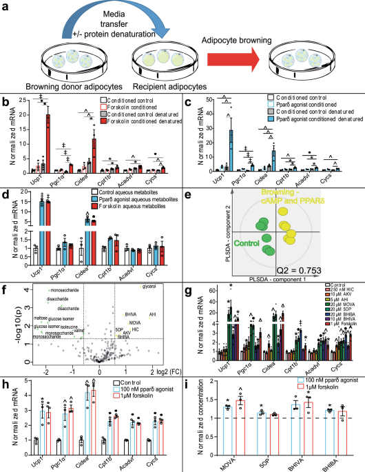 Brown and beige adipose tissue regulate systemic metabolism through a metabolite interorgan signaling axis