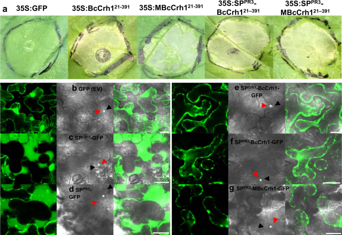 The Botrytis cinerea Crh1 transglycosylase is a cytoplasmic effector triggering plant cell death and defense response