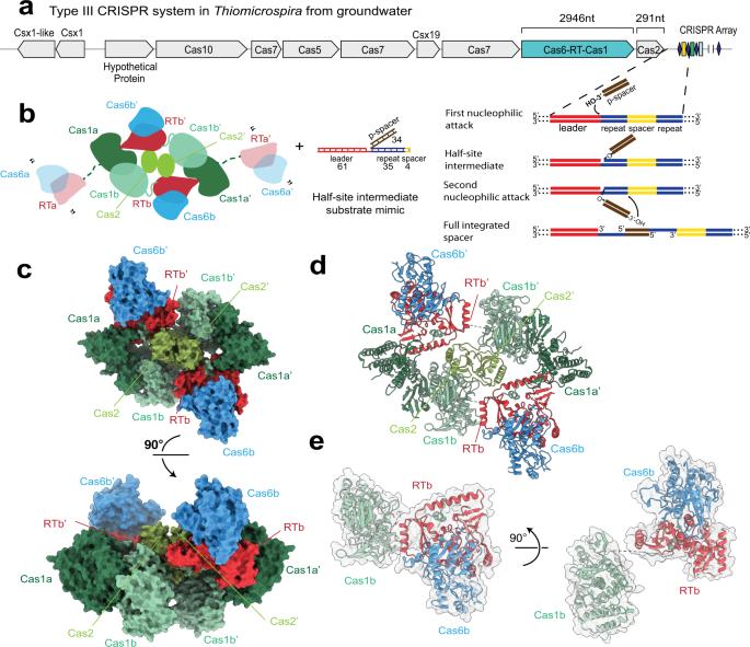 Structural coordination between active sites of a CRISPR reverse transcriptase-integrase complex
