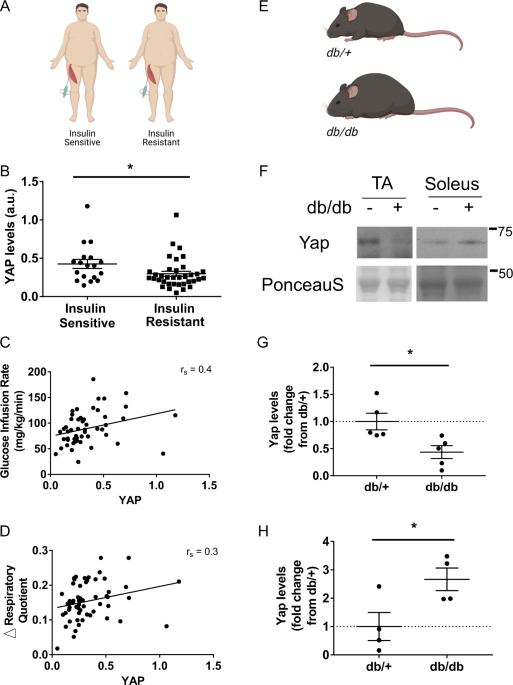Yap regulates skeletal muscle fatty acid oxidation and adiposity in metabolic disease