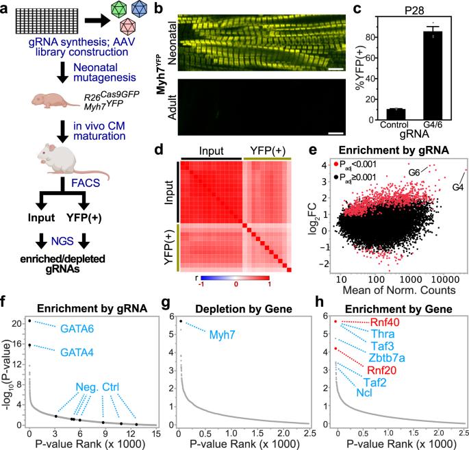 Massively parallel in vivo CRISPR screening identifies RNF20/40 as epigenetic regulators of cardiomyocyte maturation - Nature Communications