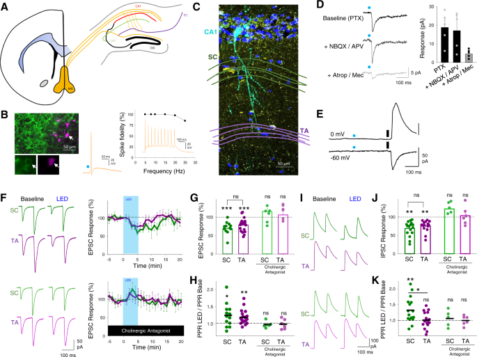 Acetylcholine prioritises direct synaptic inputs from entorhinal cortex to CA1 by differential modulation of feedforward inhibitory circuits - Nature Communications