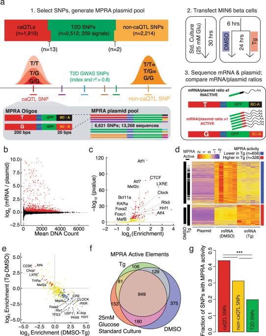 Functional characterization of T2D-associated SNP effects on baseline and ER stress-responsive β cell transcriptional activation - Nature Communications