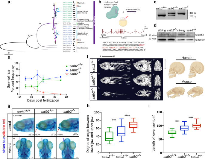 Satb2 acts as a gatekeeper for major developmental transitions during early vertebrate embryogenesis