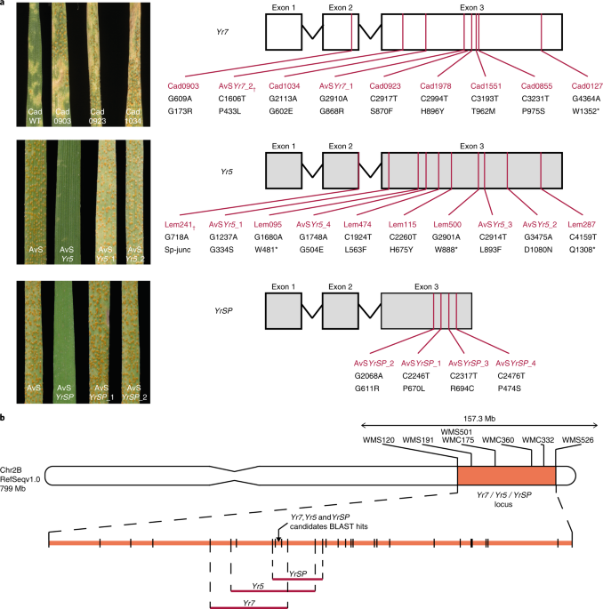 Bed Domain Containing Immune Receptors Confer Diverse Resistance