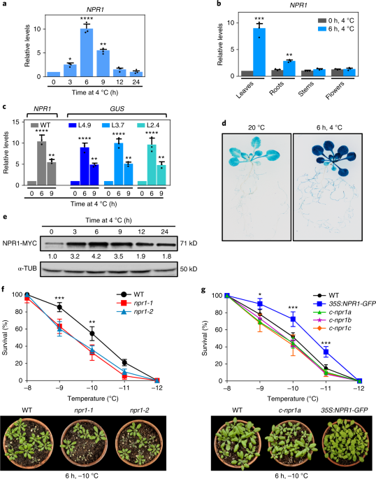 NPR1 mediates a novel regulatory pathway in cold acclimation