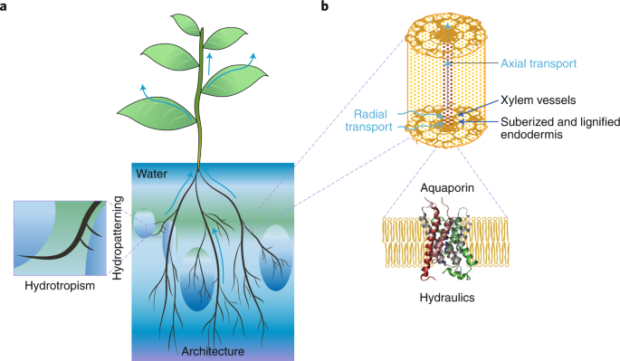 Root architecture and hydraulics converge for acclimation to changing water availability
