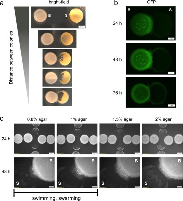 Impact of spatial proximity on territoriality among human skin bacteria
