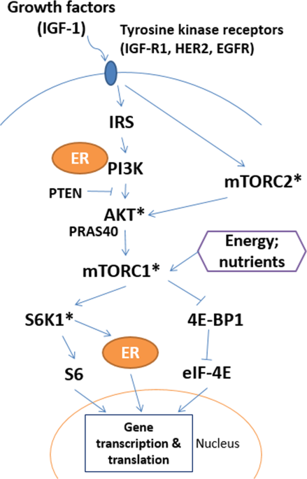 Body fatness and mTOR pathway activation of breast cancer in the Women's Circle of Health Study
