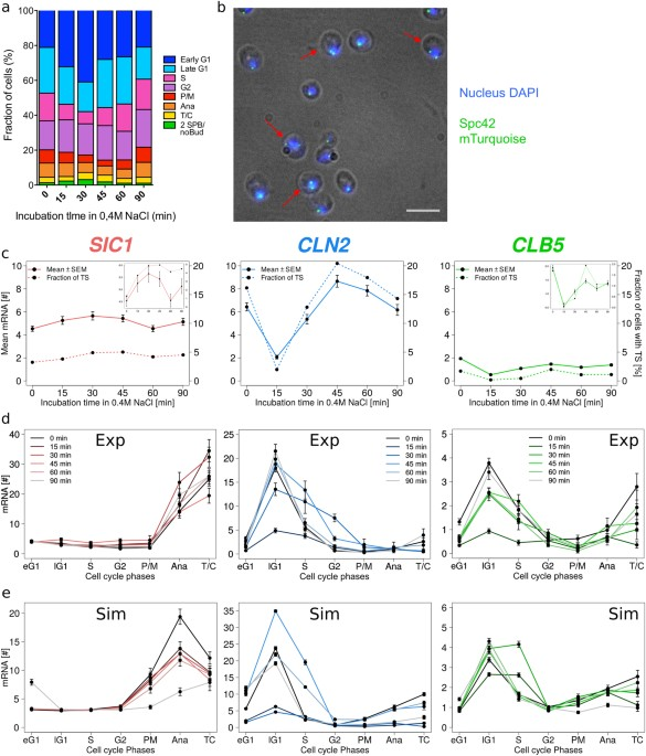 Transcriptional timing and noise of yeast cell cycle regulatorsa medium osmotic stress affects cell cycle progression and transcription a fraction of cells in each cell cycle phases before and during exposure to osmotic ccuart Images
