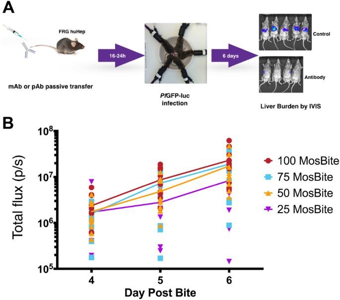 Humoral Protection Against Mosquito Bite Transmitted Plasmodium