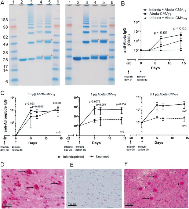 Immunogenicity Of Cmvtt Based Alzheimer S Vaccine A Sds Page Ysis Nupage 4 12 Bis Tris The Aβ1 6 Left Panel And Cmv Wt Right