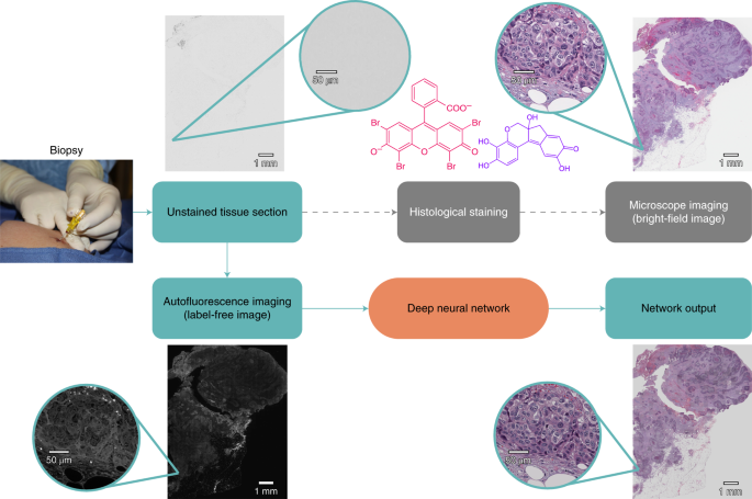 Virtual Histological Staining Of Unlabelled Tissue Autofluorescence Images Via Deep Learning Nature Biomedical Engineering