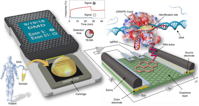 Detection of unamplified target genes via CRISPR–Cas9 immobilized on a graphene field-effect transistor