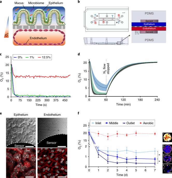 A complex human gut microbiome cultured in an anaerobic