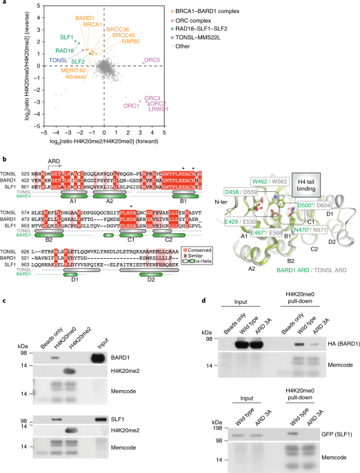 H4K20me0 recognition by BRCA1–BARD1 directs homologous
