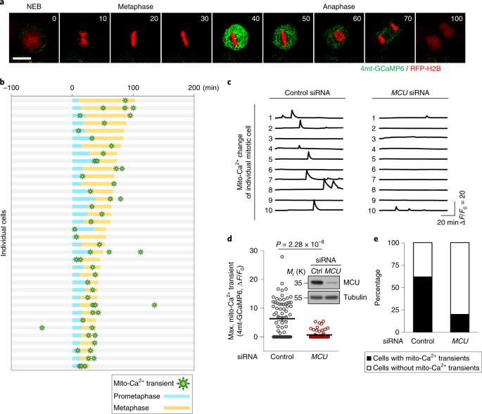 AMPK-mediated activation of MCU stimulates mitochondrial Ca<sup>2+</sup> entry to promote mitotic progression