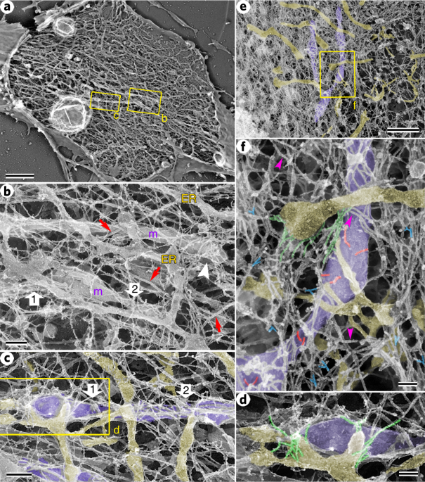 Ultrastructure and dynamics of the actin−myosin II cytoskeleton during mitochondrial fission