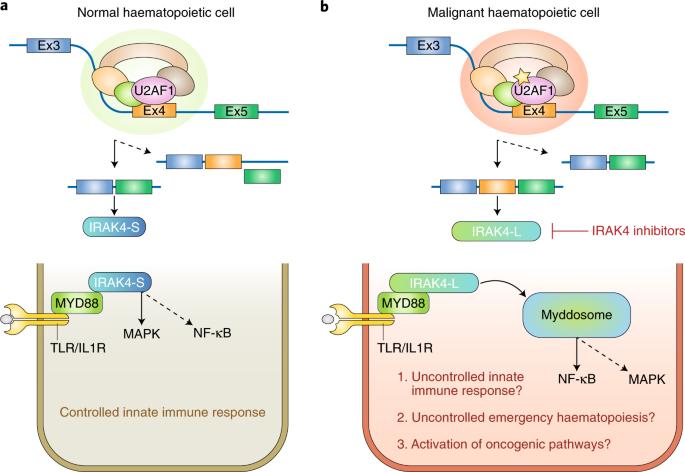 Splicing the innate immune signalling in leukaemia