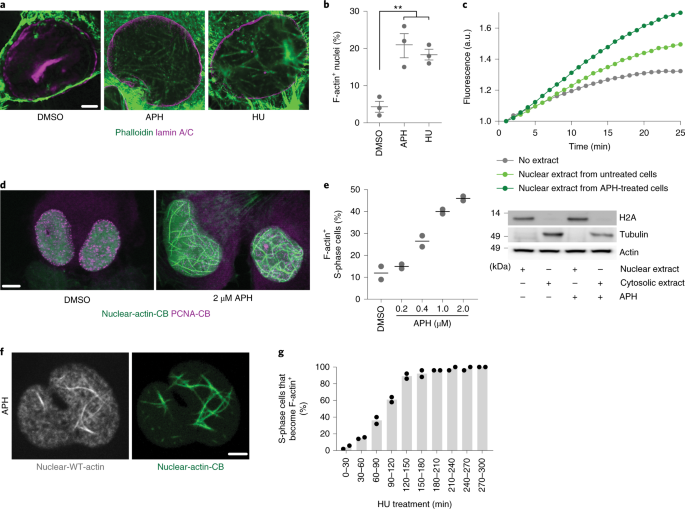 Nuclear F-actin counteracts nuclear deformation and promotes fork repair during replication stress