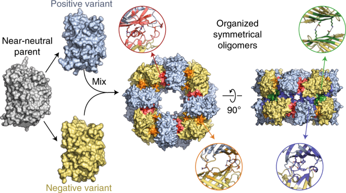 Supercharging enables organized assembly of synthetic biomolecules
