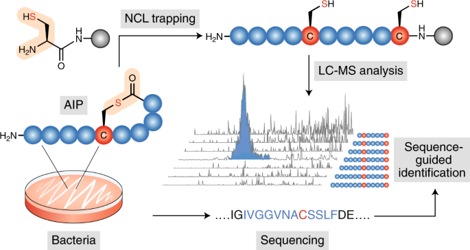 Identification of autoinducing thiodepsipeptides from staphylococci enabled by native chemical ligation