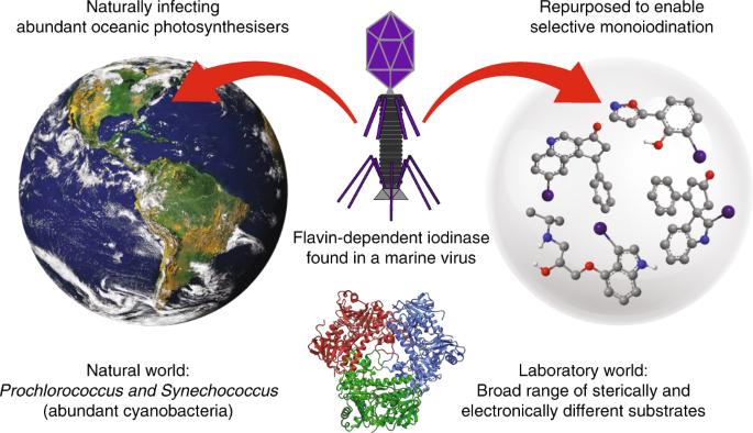 A marine viral halogenase that iodinates diverse substrates